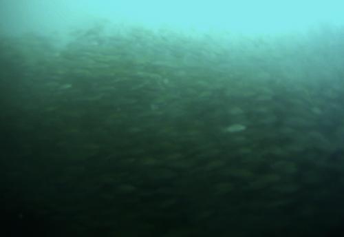 Buceo Pared-de-peces