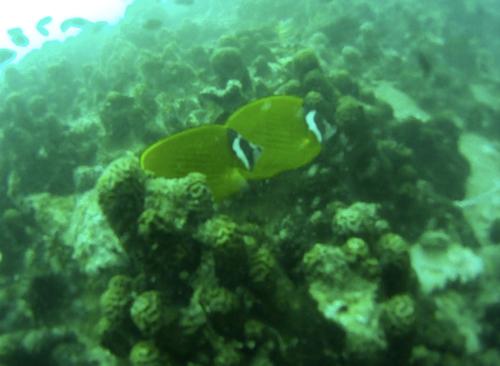 BuceoPareja-peces
